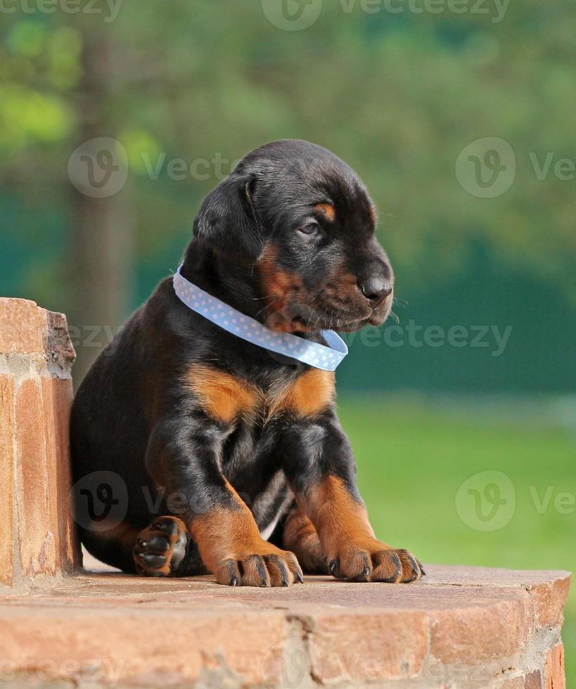 Dobermann puppy having rest photo