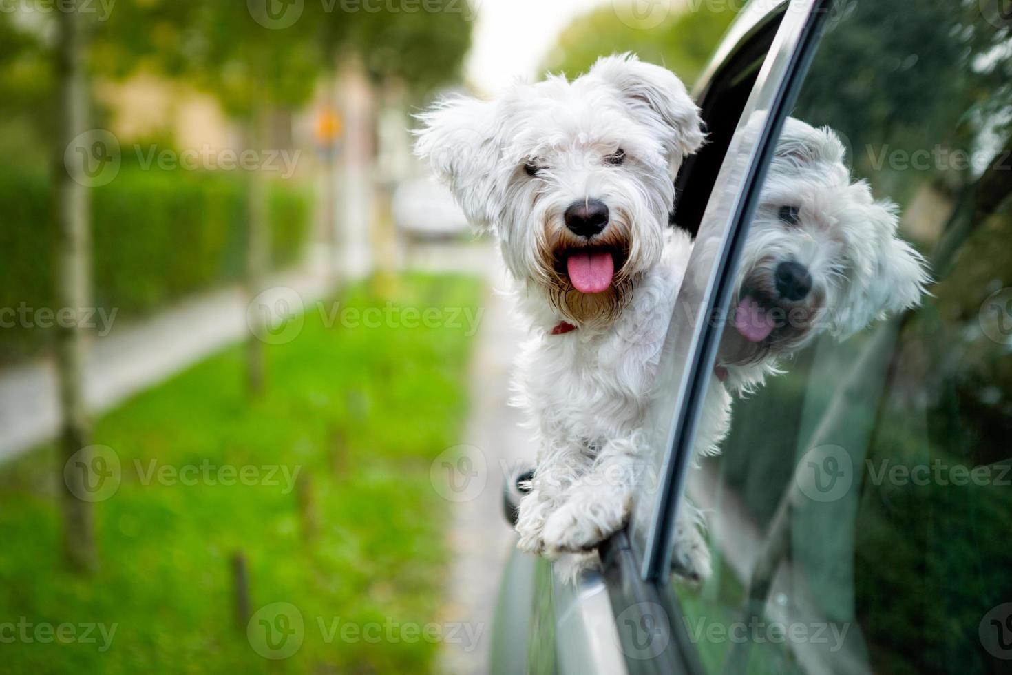 cachorro maltés mirando por la ventana del coche foto
