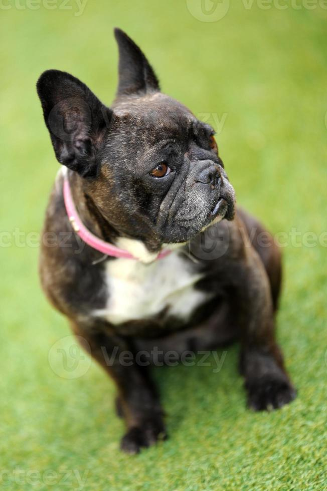 French Bulldog photo