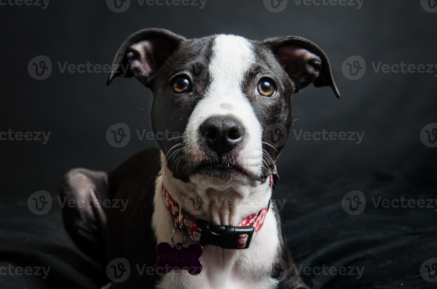 retrato de pit bull foto
