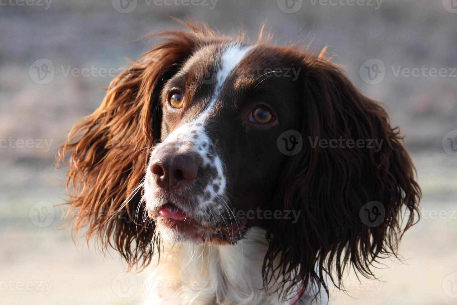 tipo de trabajo inglés springer spaniel mascota gundog foto