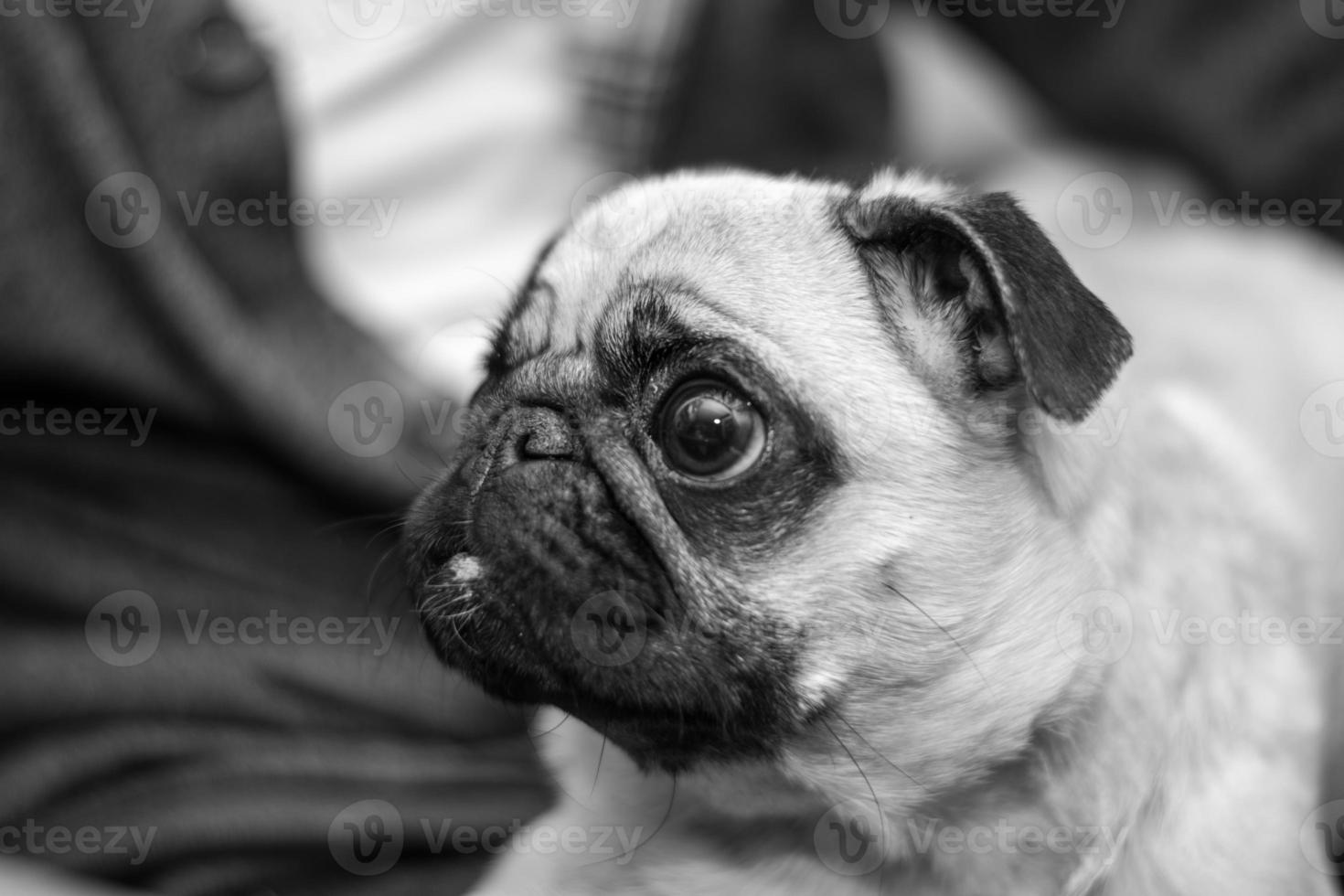 mops portrait, black and white photography photo