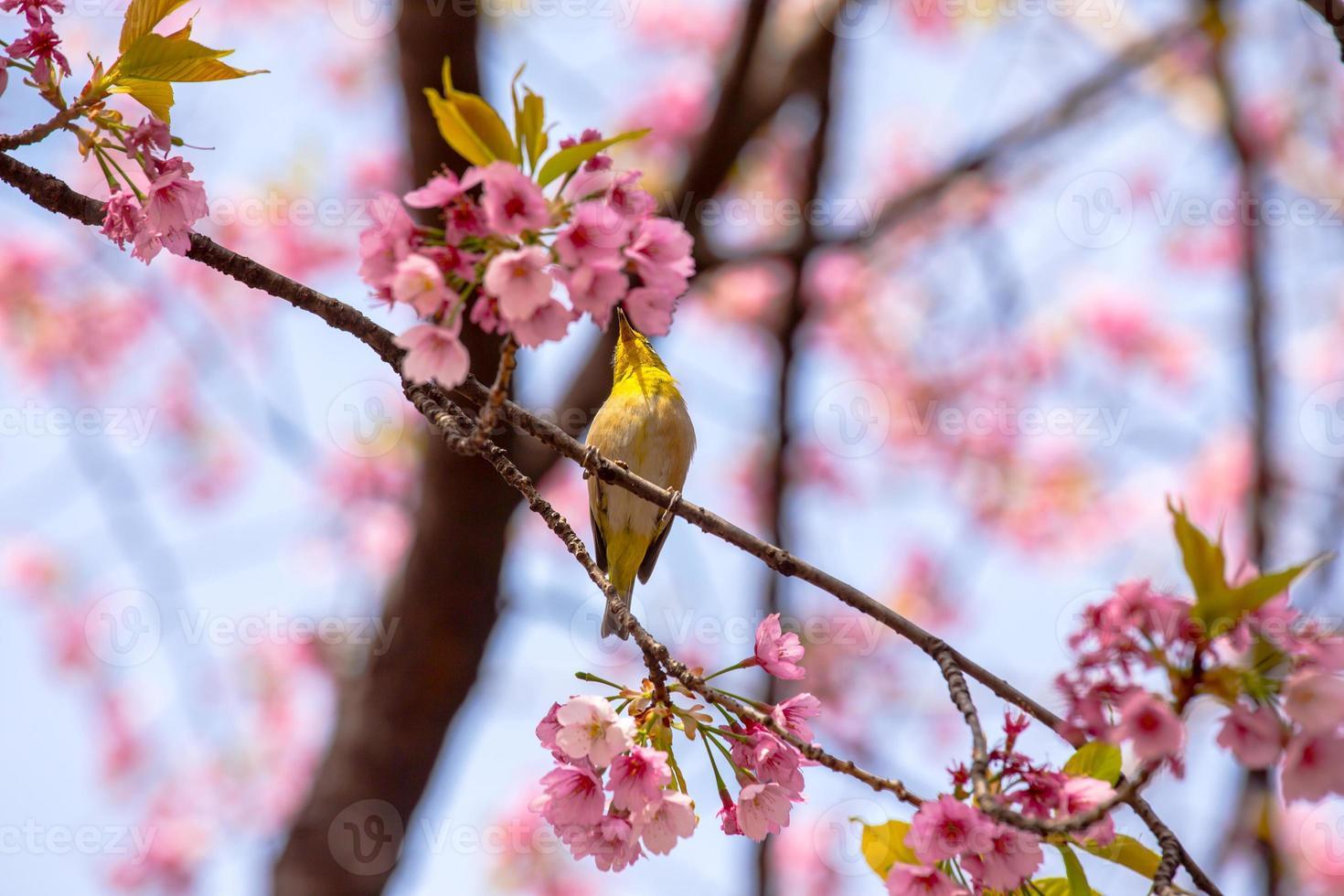 flores de sakura desabrocham no parque ueno, tokyo, japão foto