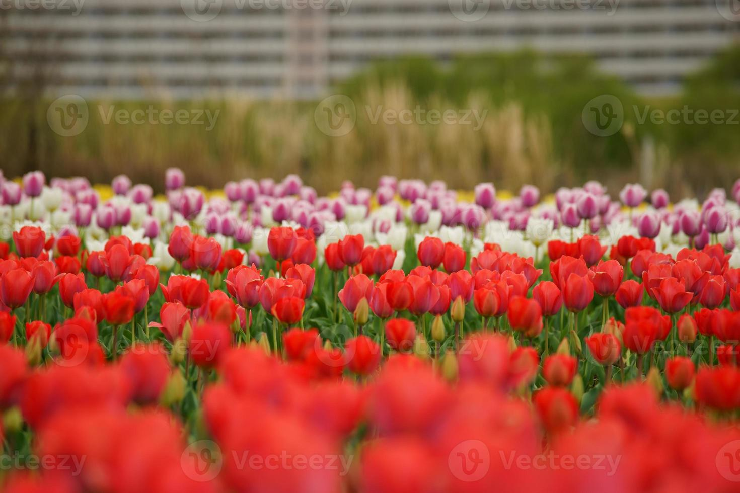 Riverbed tulip photo