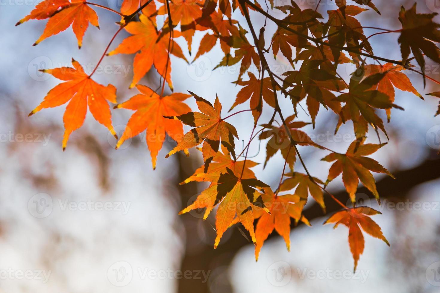 folhas de bordo japonesas no outono foto
