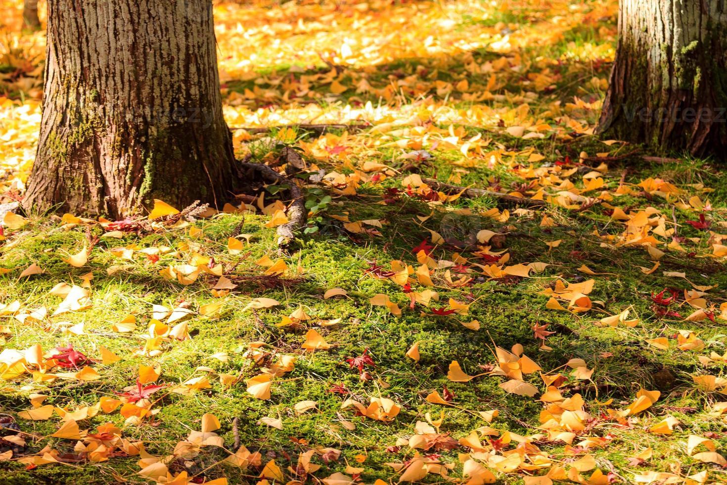 Autumn Japanese garden with maple photo