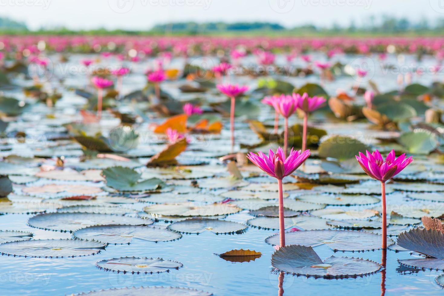 "lótus rosa no pântano de lótus na província ""talay-noi"" pattalung, thaialnd foto"