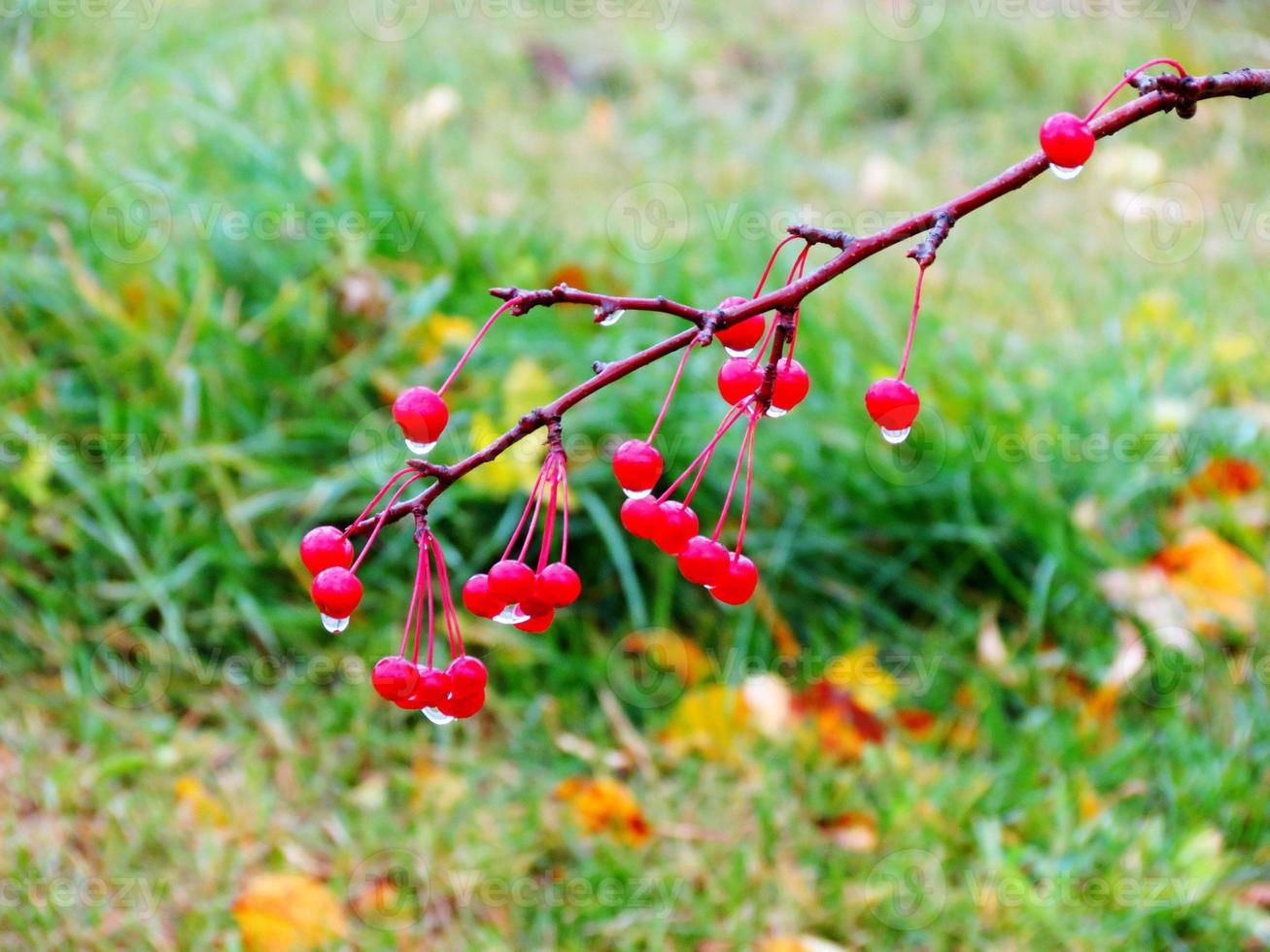 bayas de otoño foto
