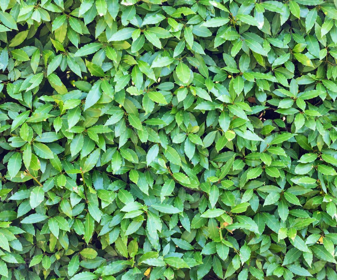 muchas hojas de laurel de fondo foto