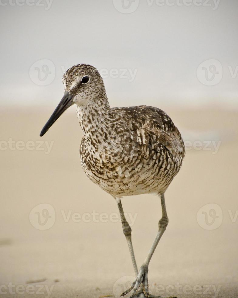 Willet on the Beach photo
