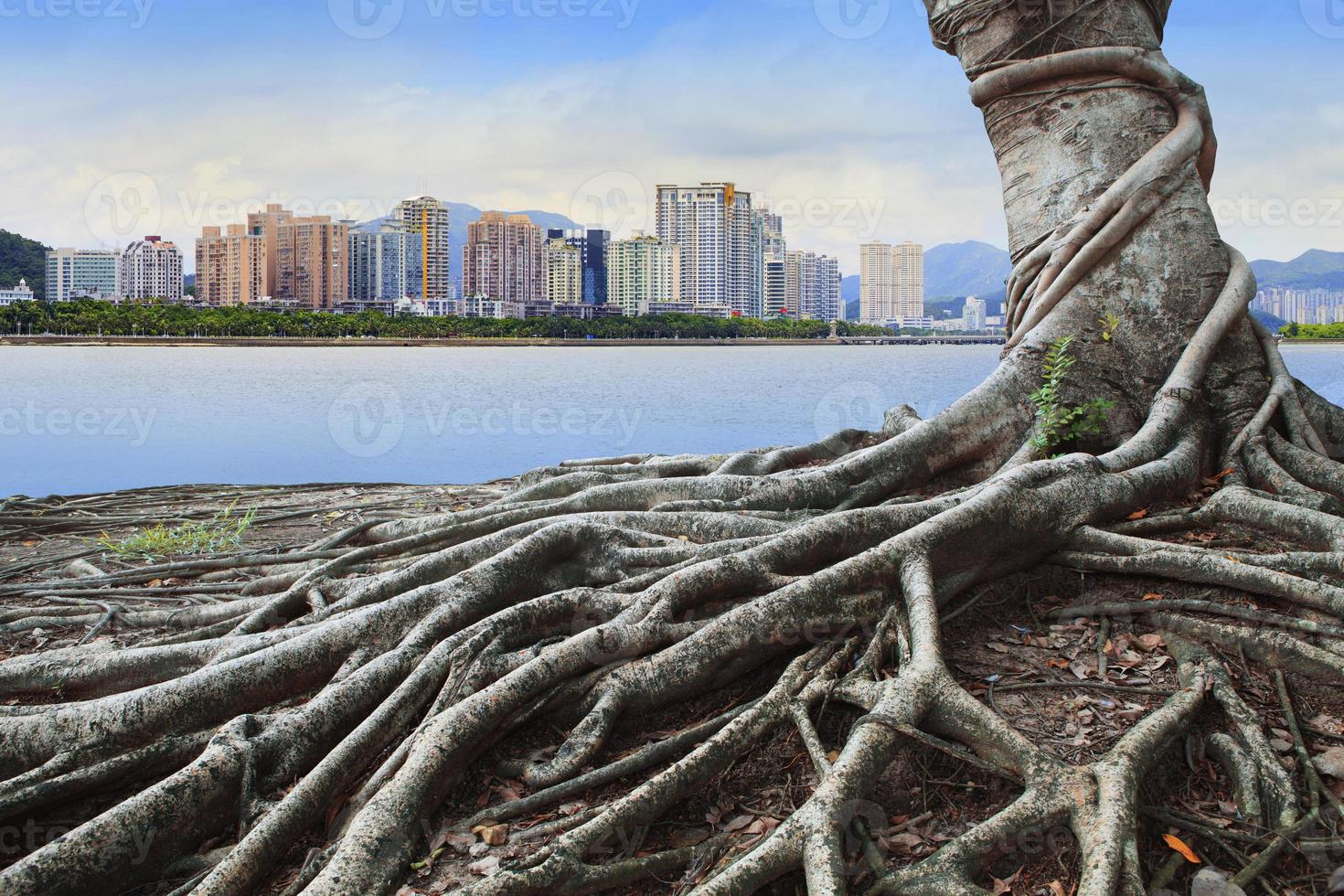 banyan tree root and urban scene background photo