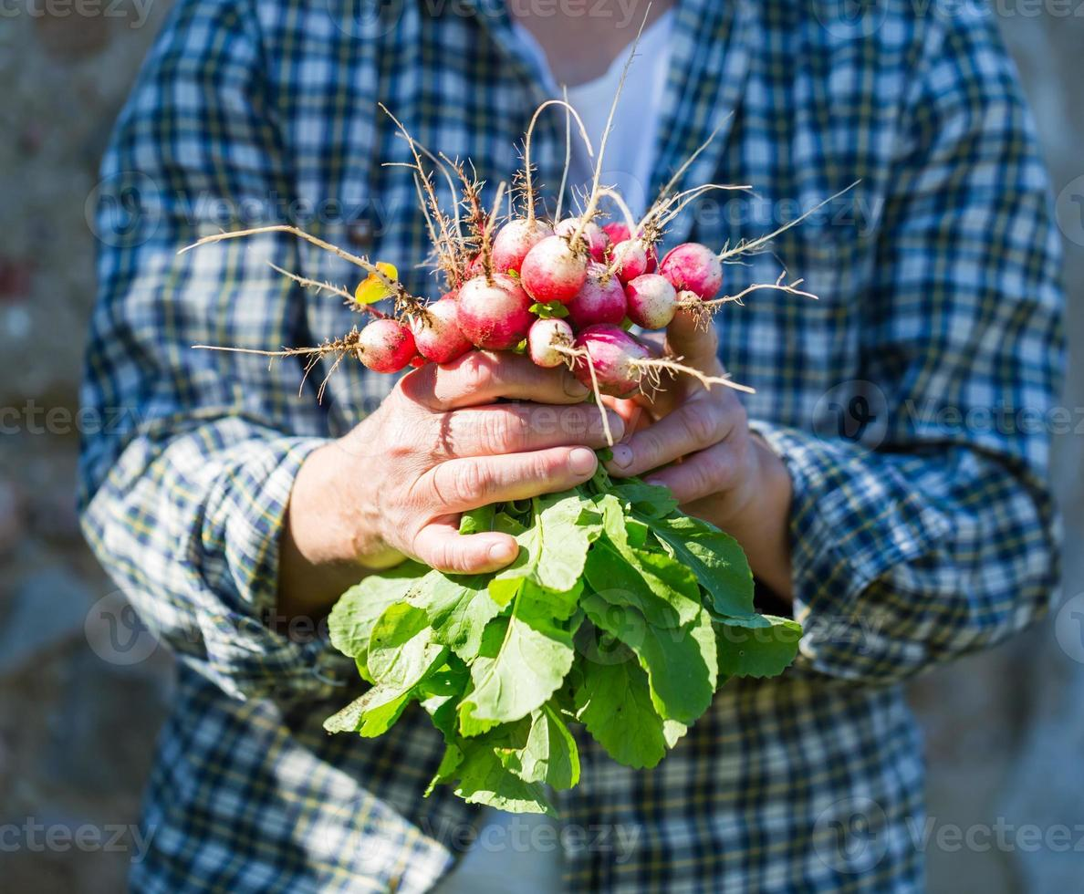 Woman hands with just picked radish photo