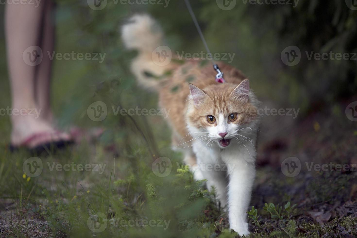 red cat walking on the grass photo