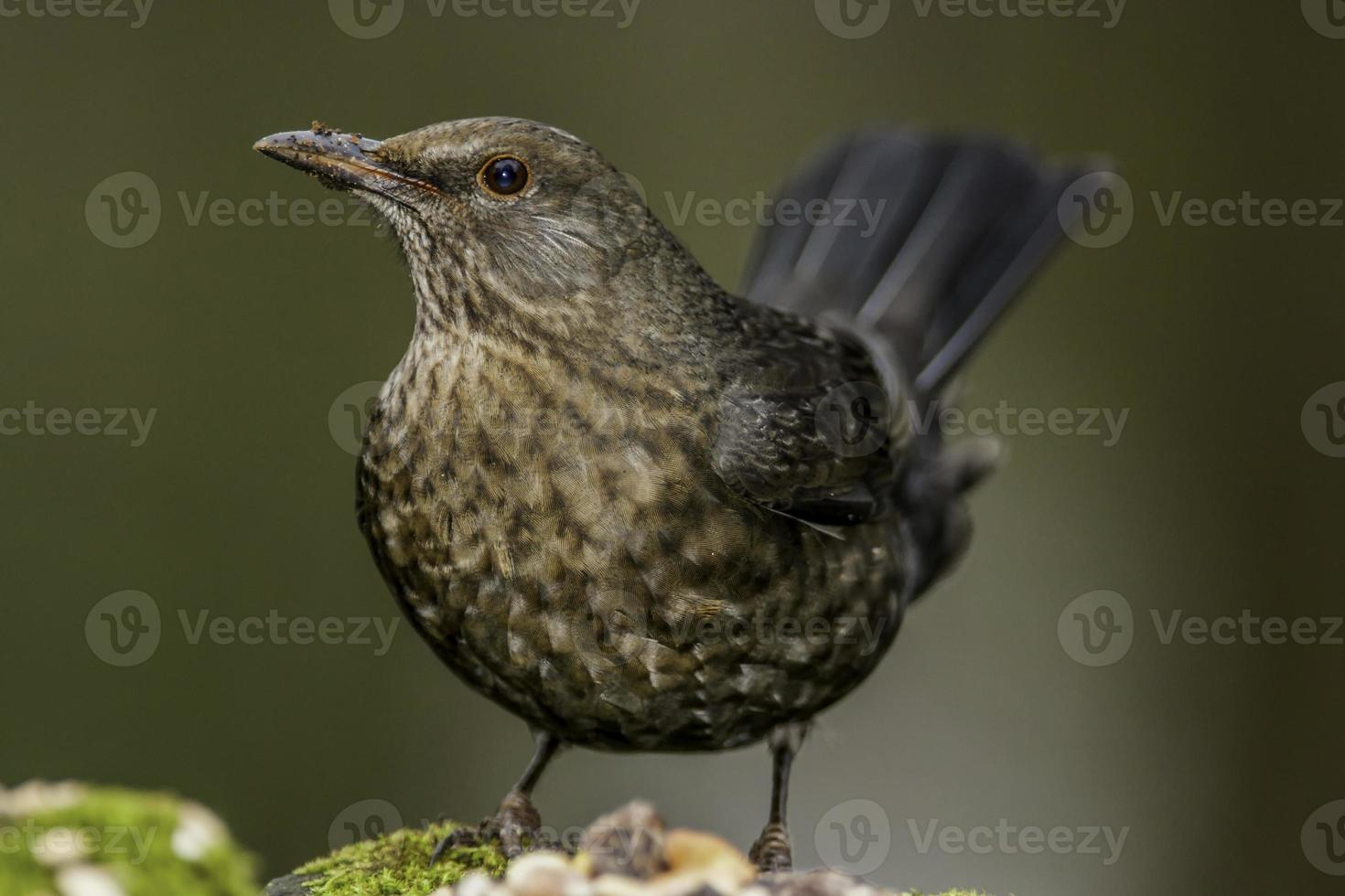 Blackbird photo
