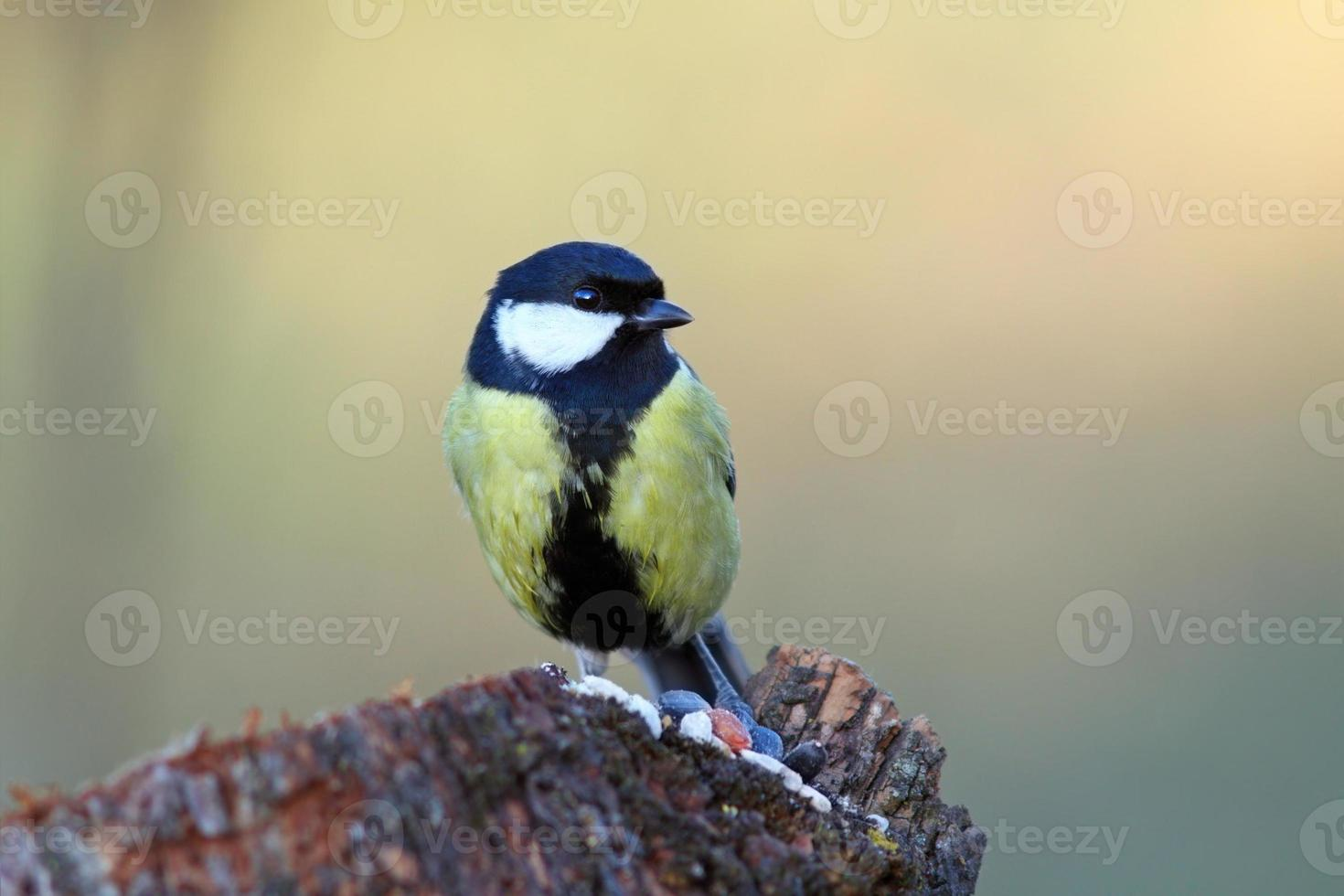 great tit came  on a stump for food photo