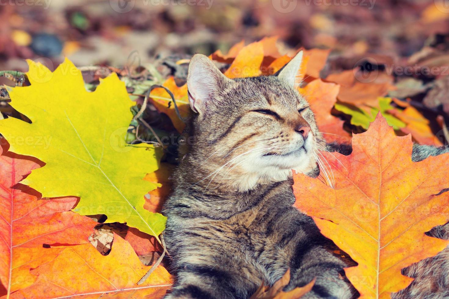 Cute cat lying in the autumn park photo