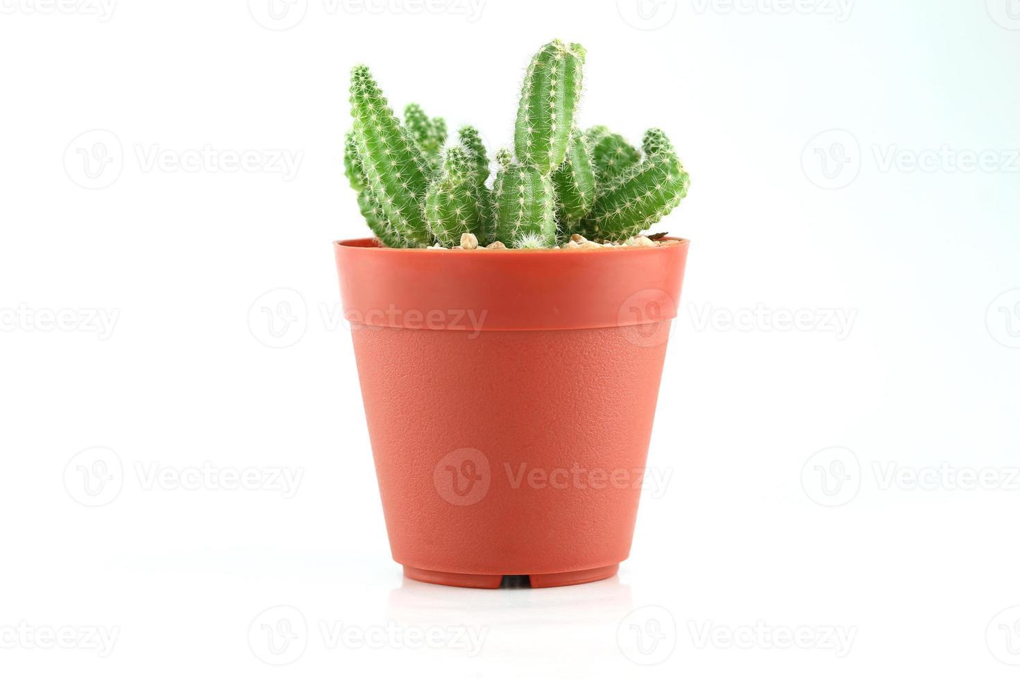 cactus in flower pot. photo