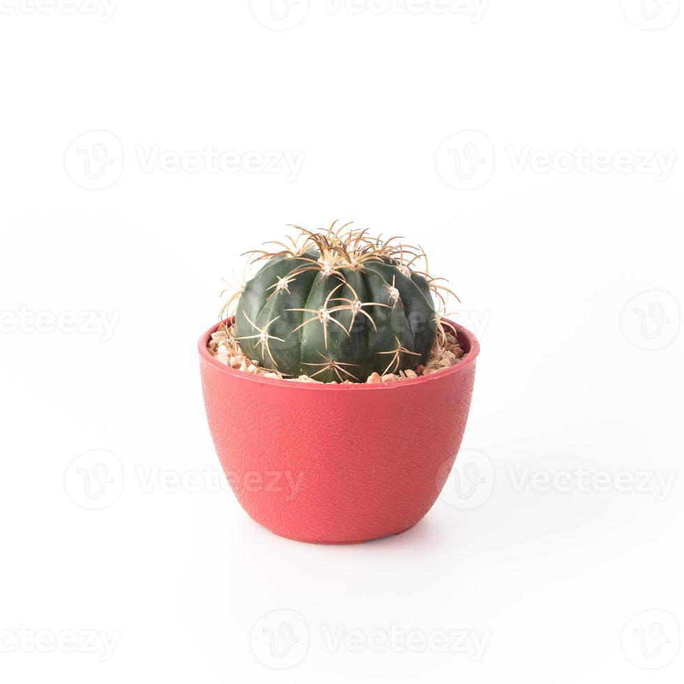 Cactus Isolate on white background photo