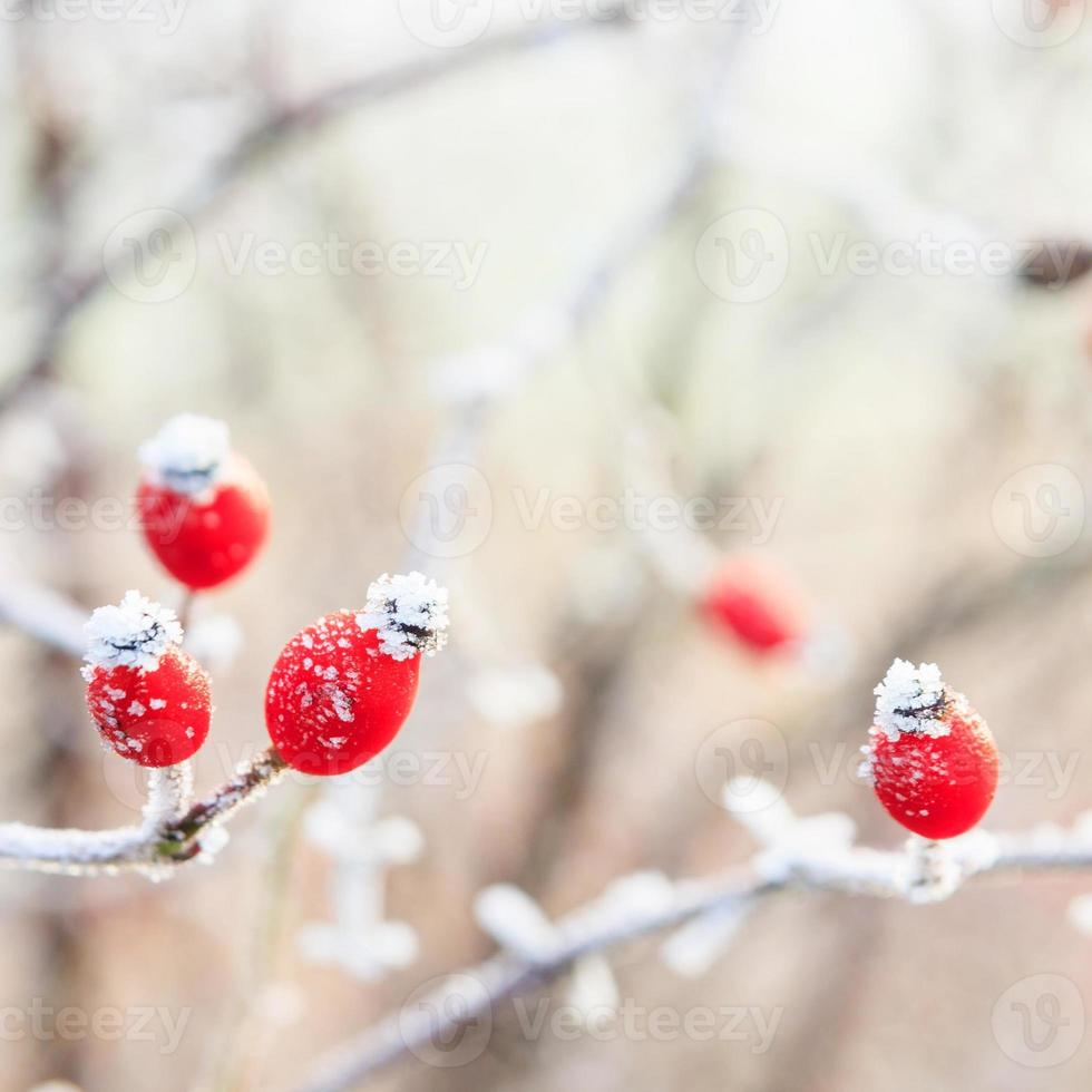 Winter background, red berries on the frozen branches covered wi photo