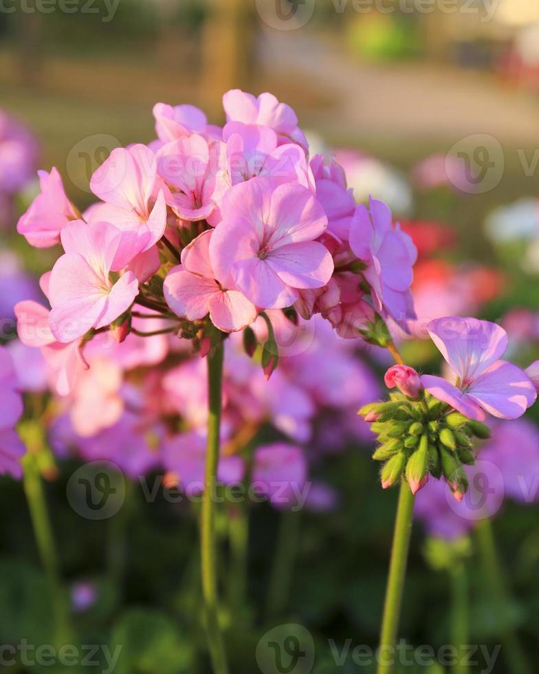 Geranium flowers in the garden photo