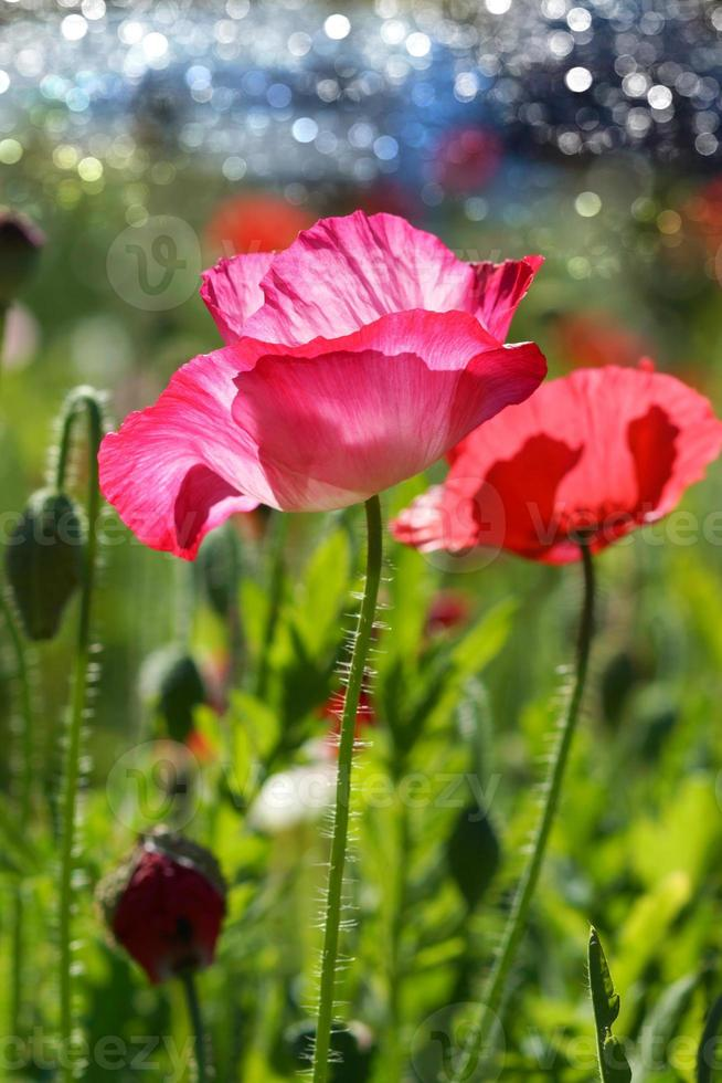 Poppy flowers in the garden photo