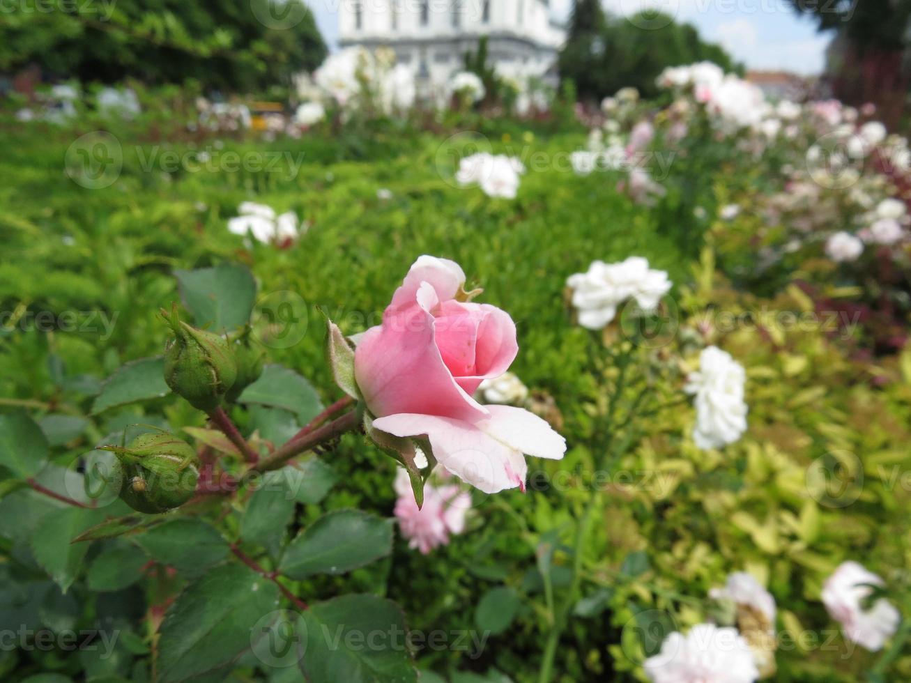 rose park photo