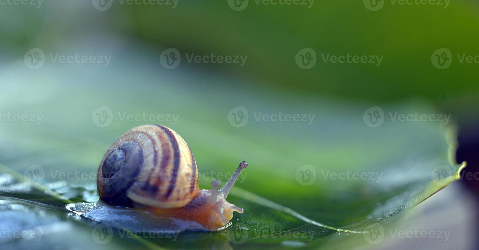 Garden  snail on a leaf photo