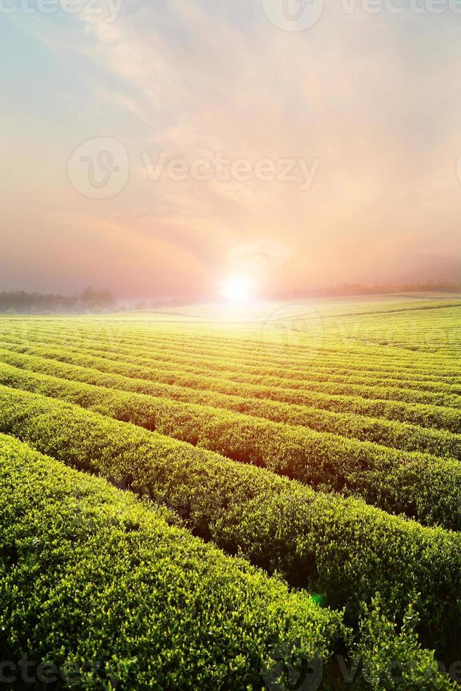 green tea garden on the hill photo