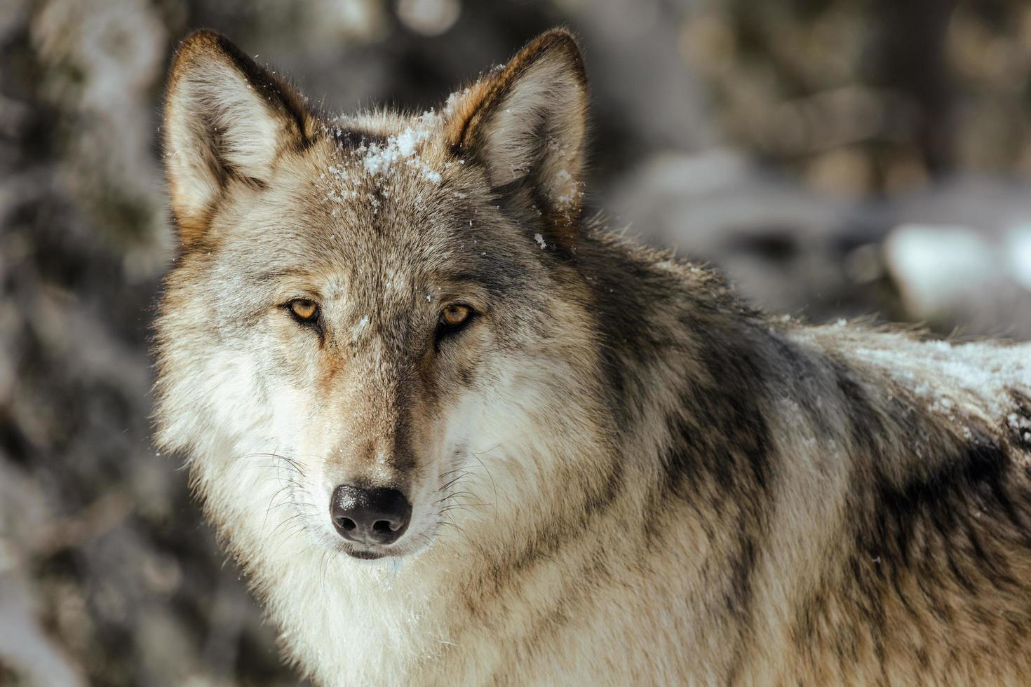 Close-up of a wolf in nature photo