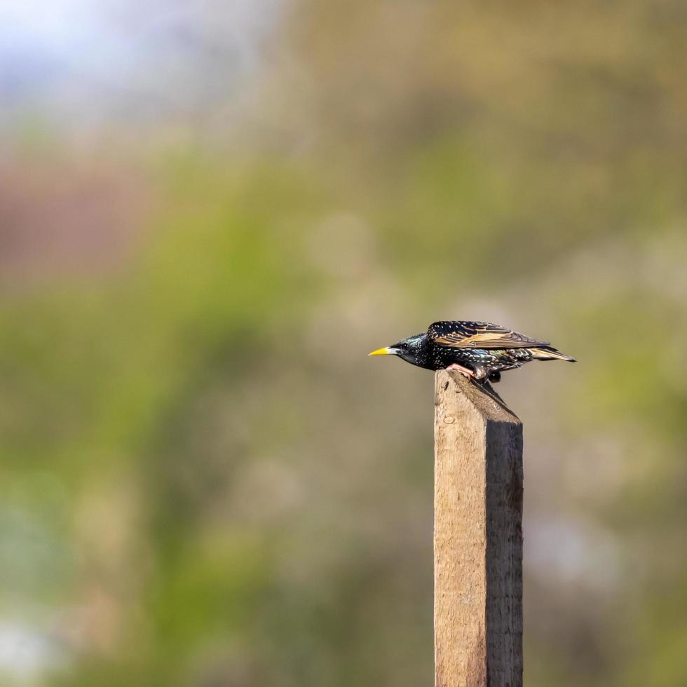 pájaro estornino en poste foto
