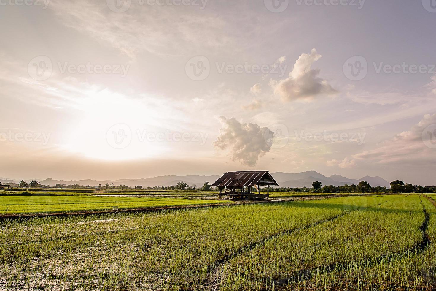 Fresh rice field on beautiful sunset photo