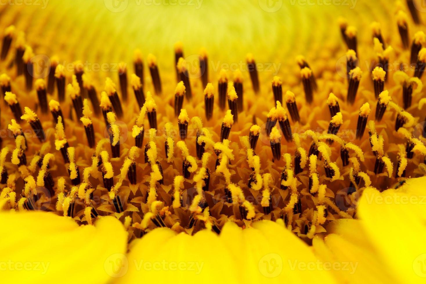 Bright sunflowers photo