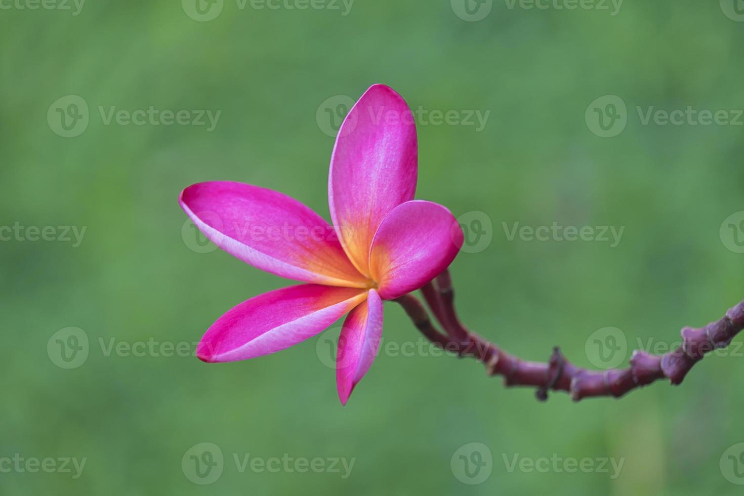 Branch of tropical pink flowers frangipani (plumeria) on dark gr photo