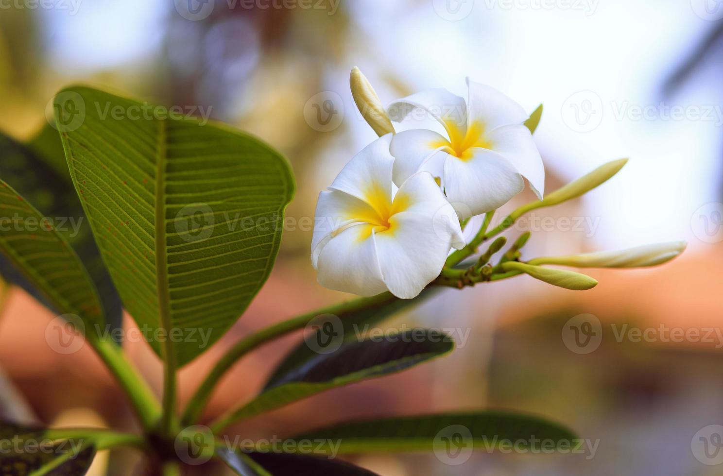 Tropical flower frangipani. Thailand. Plumeria. photo