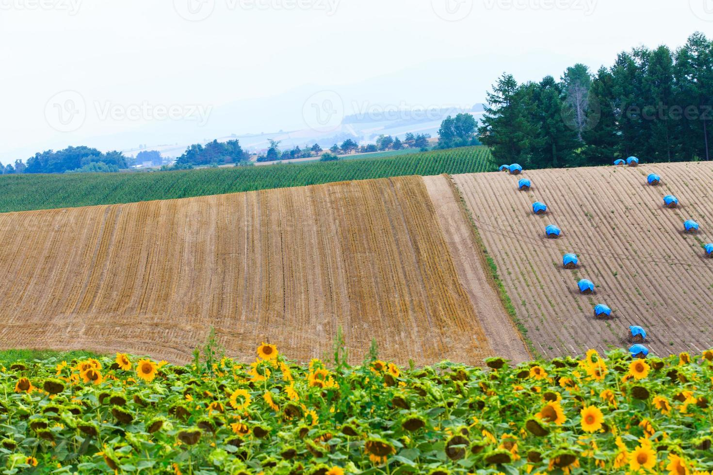 Field of Sunflower with haystack  background. photo