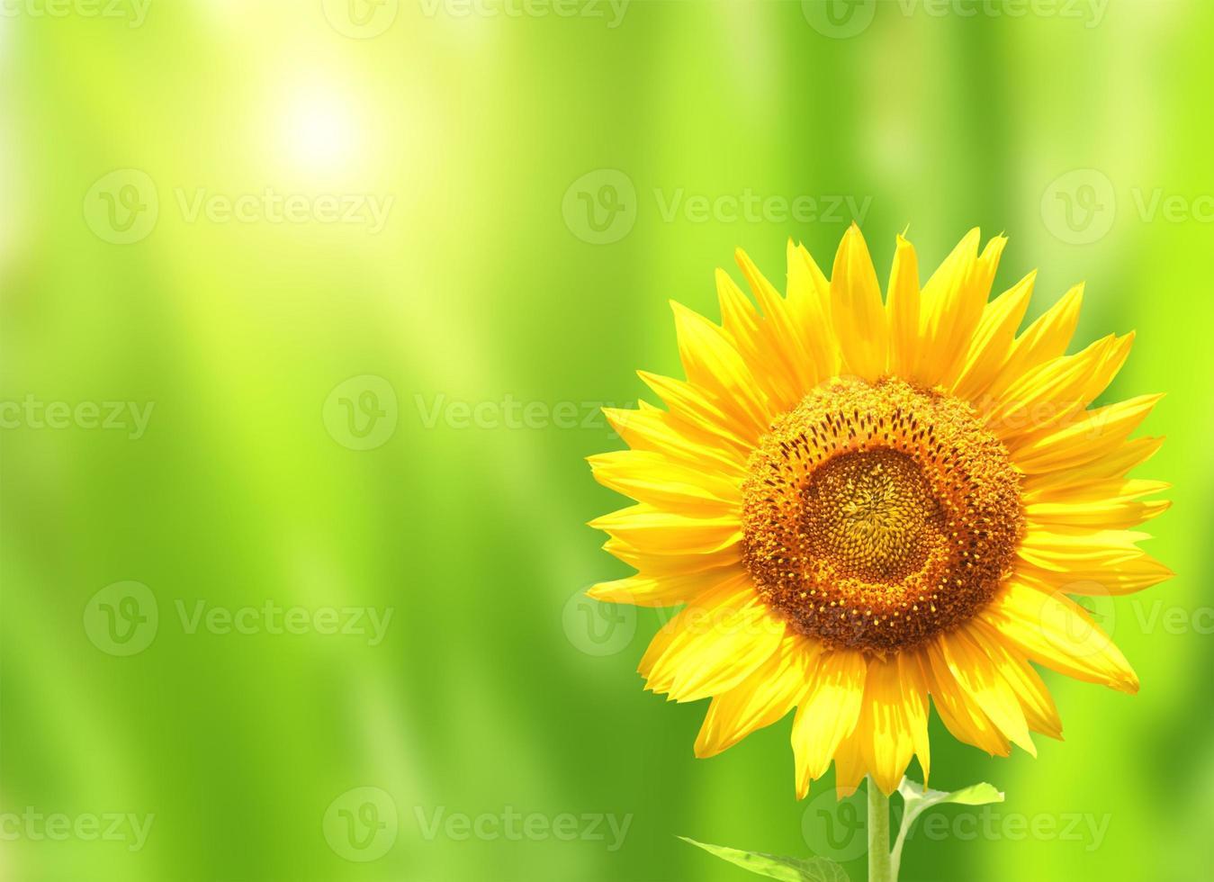 Bright yellow sunflower on green background photo