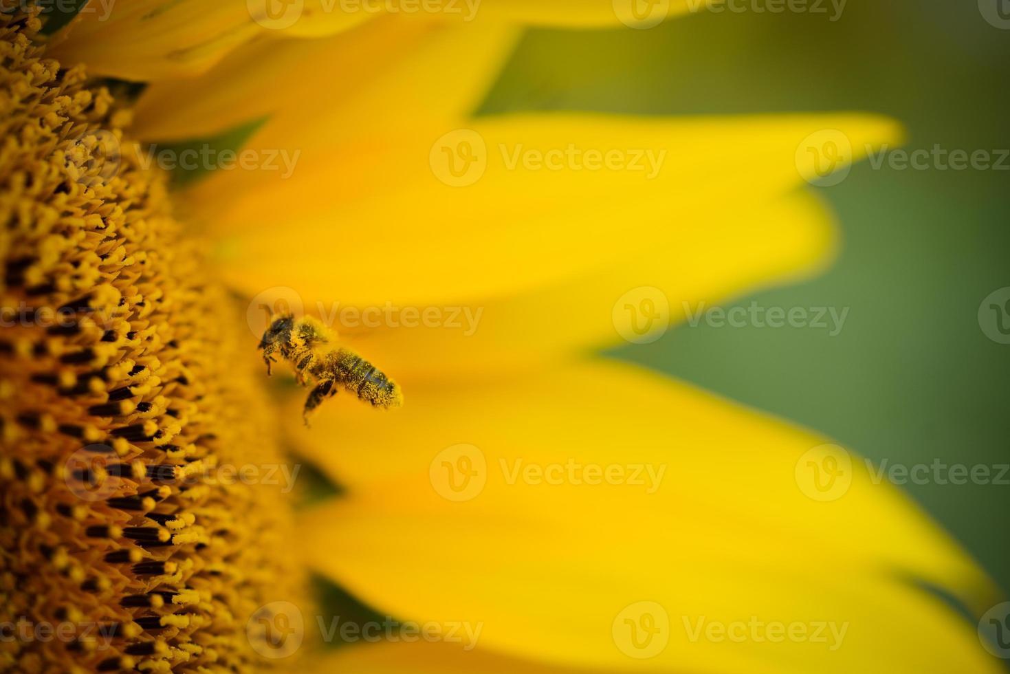 Primer plano macro de abeja recogiendo polen de girasol foto