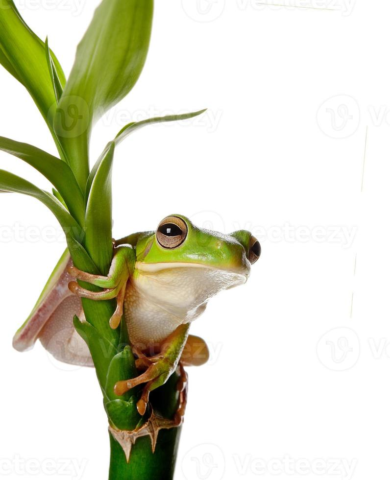 Frog on bamboo branch photo