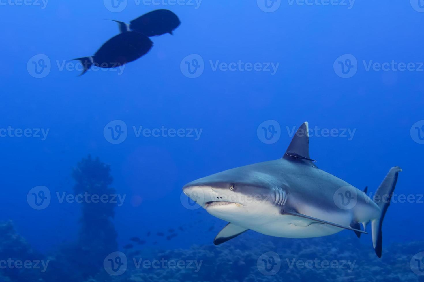 Grey shark jaws ready to attack underwater close up portrait photo