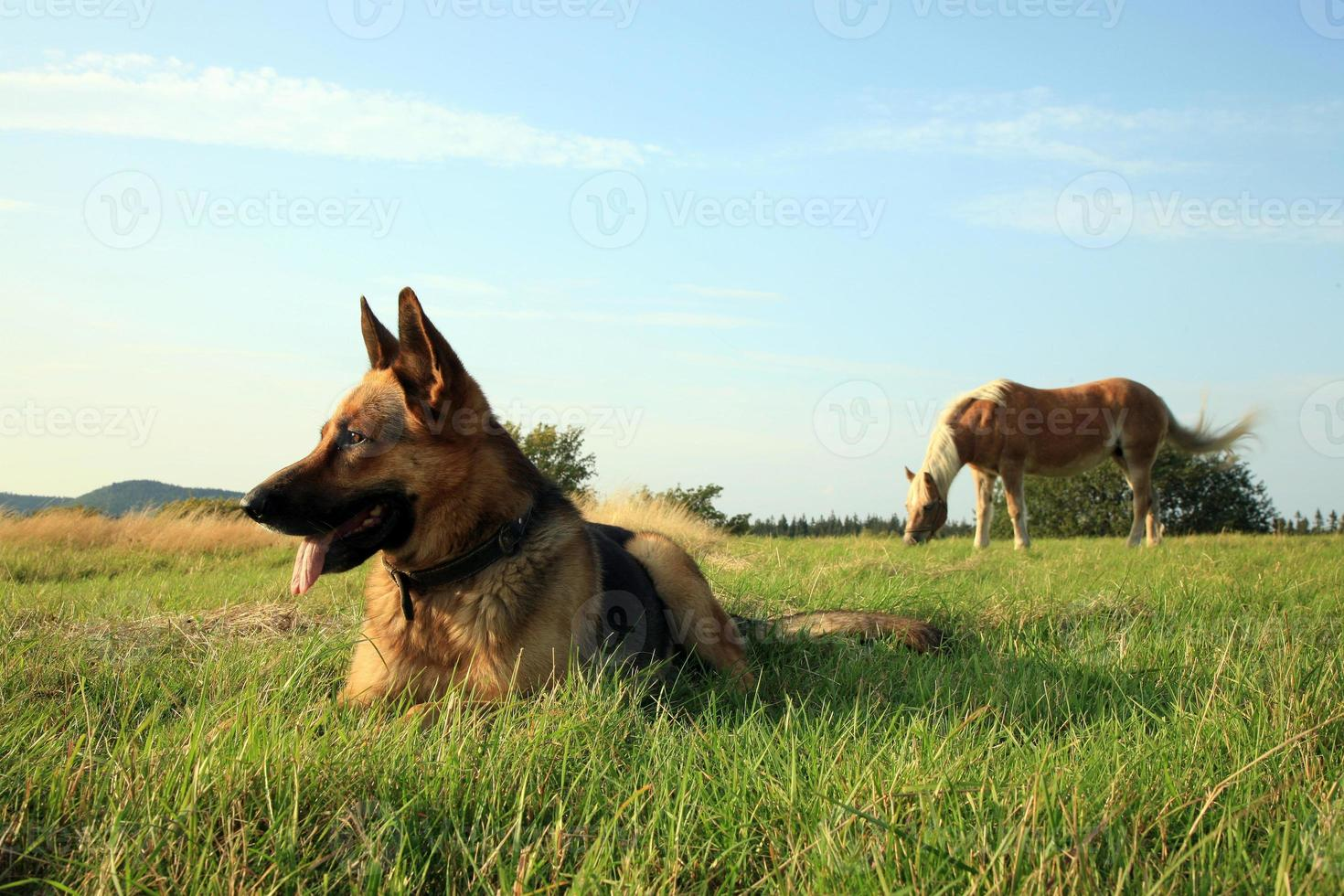Dog - Alsatian photo