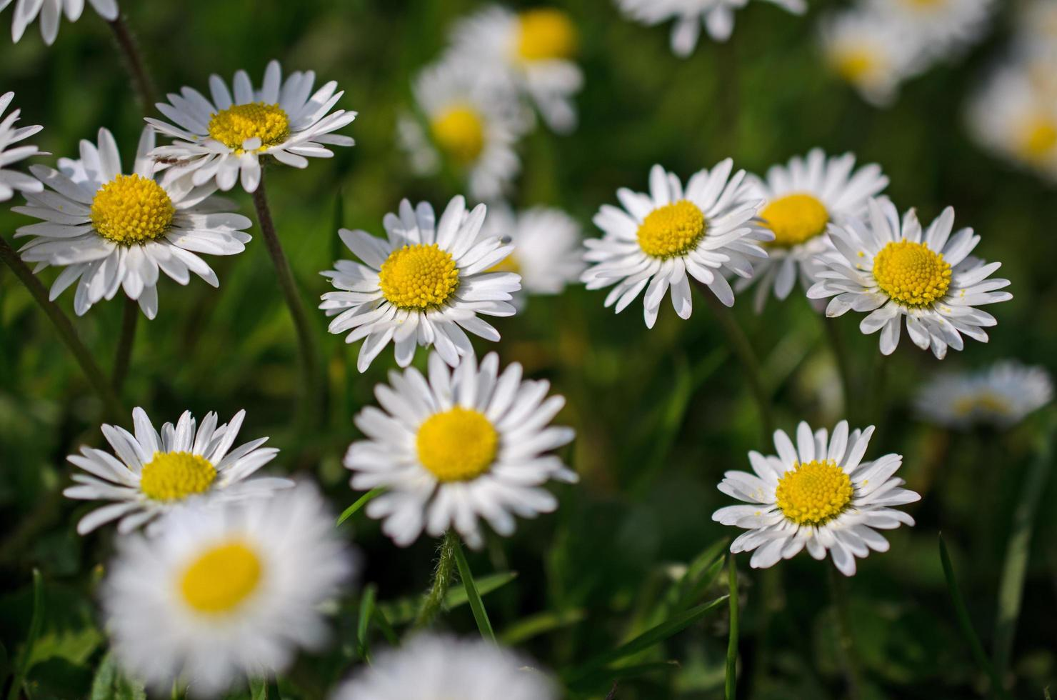 Daisies in a patch photo