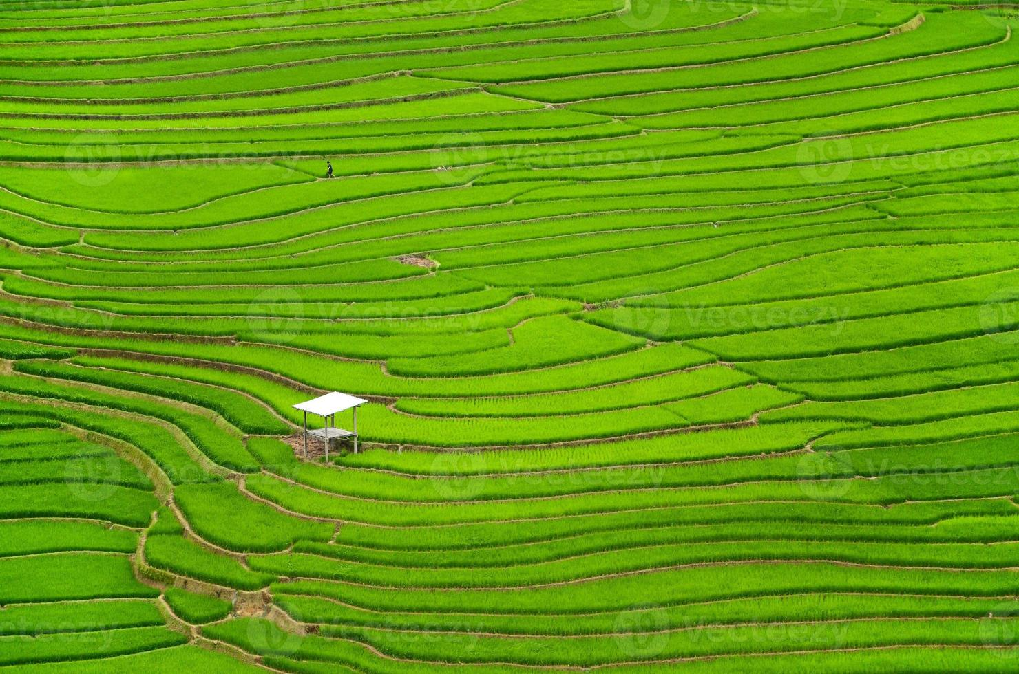 green terraced rice fields agriculture in sapa vietnam photo