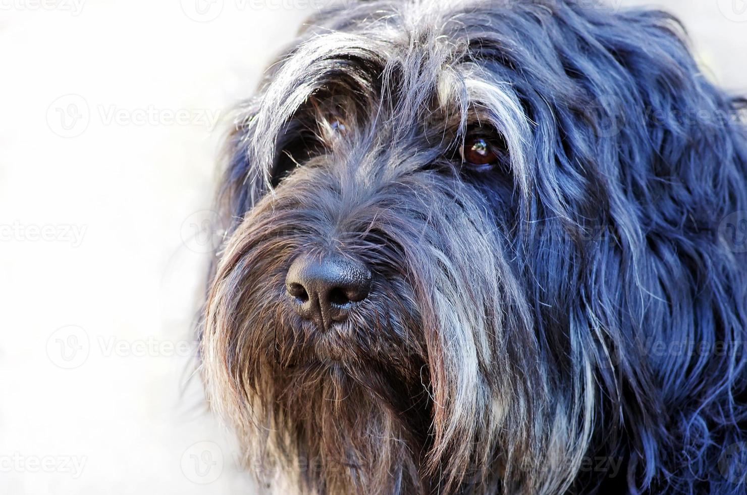 Face of portuguese sheepdog photo