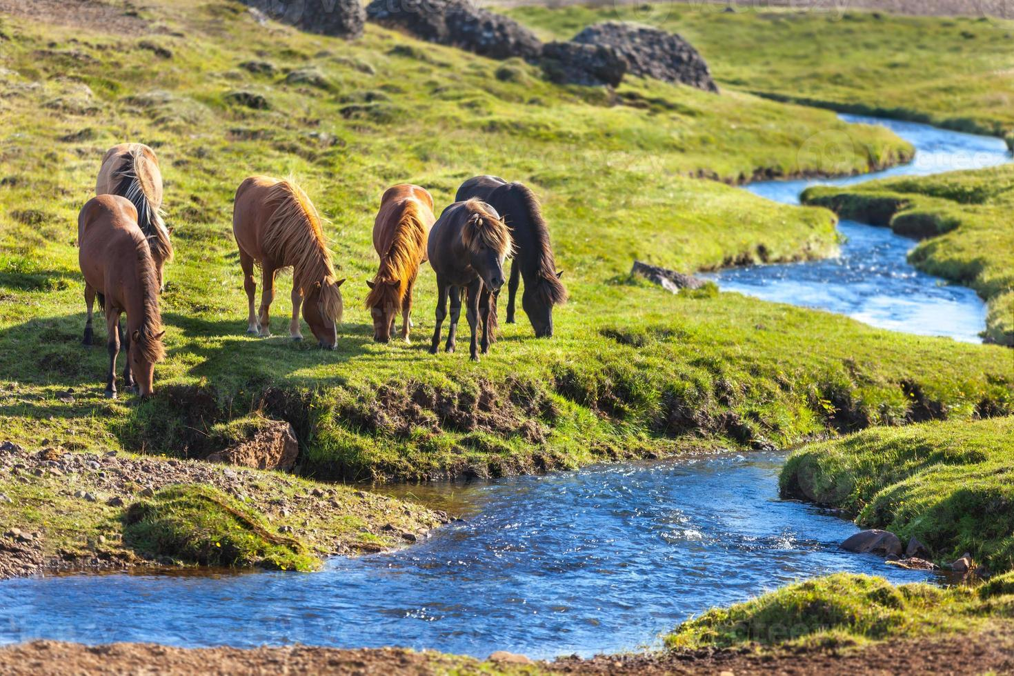 Horses in a green field at Iceland Rural landscape photo
