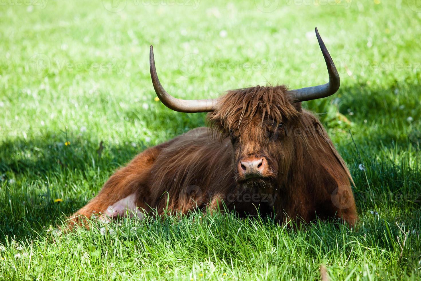 Scottish highland cow over green grass photo