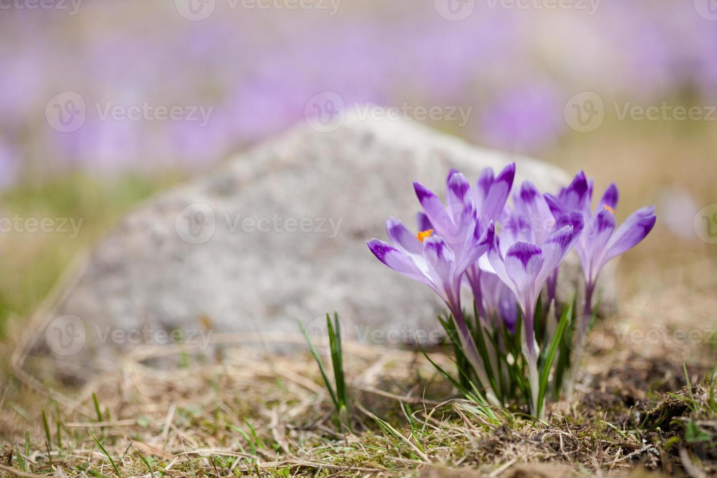 Beautiful crocus flowers in Tatry mountains photo