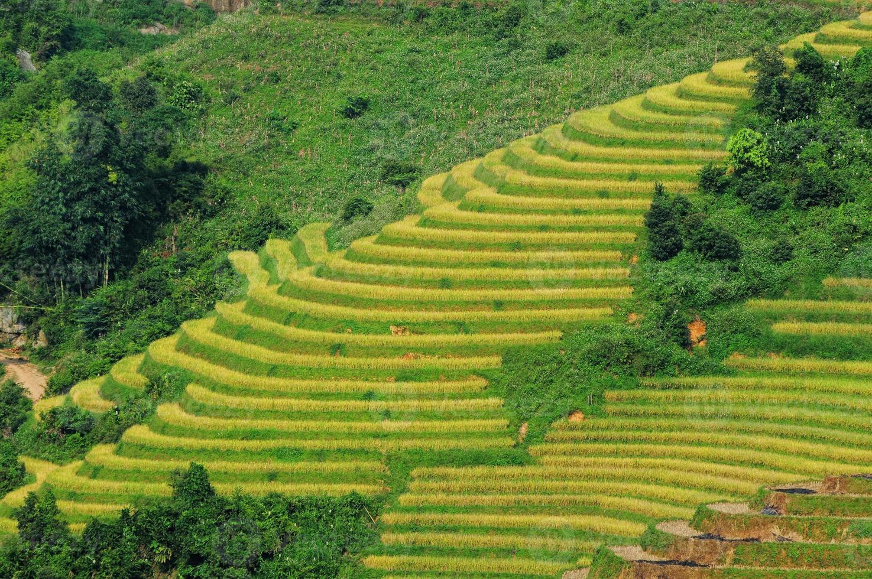 Rice fields on terraced in Vietnam photo