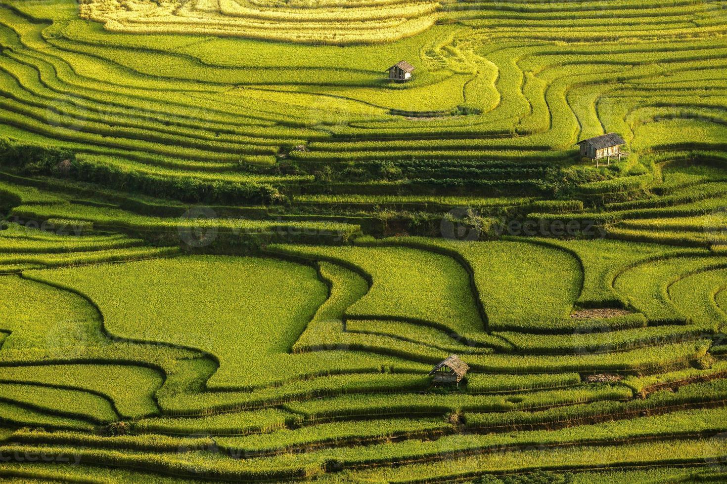 Rice fields prepare the harvest at Northwest Vietnam photo