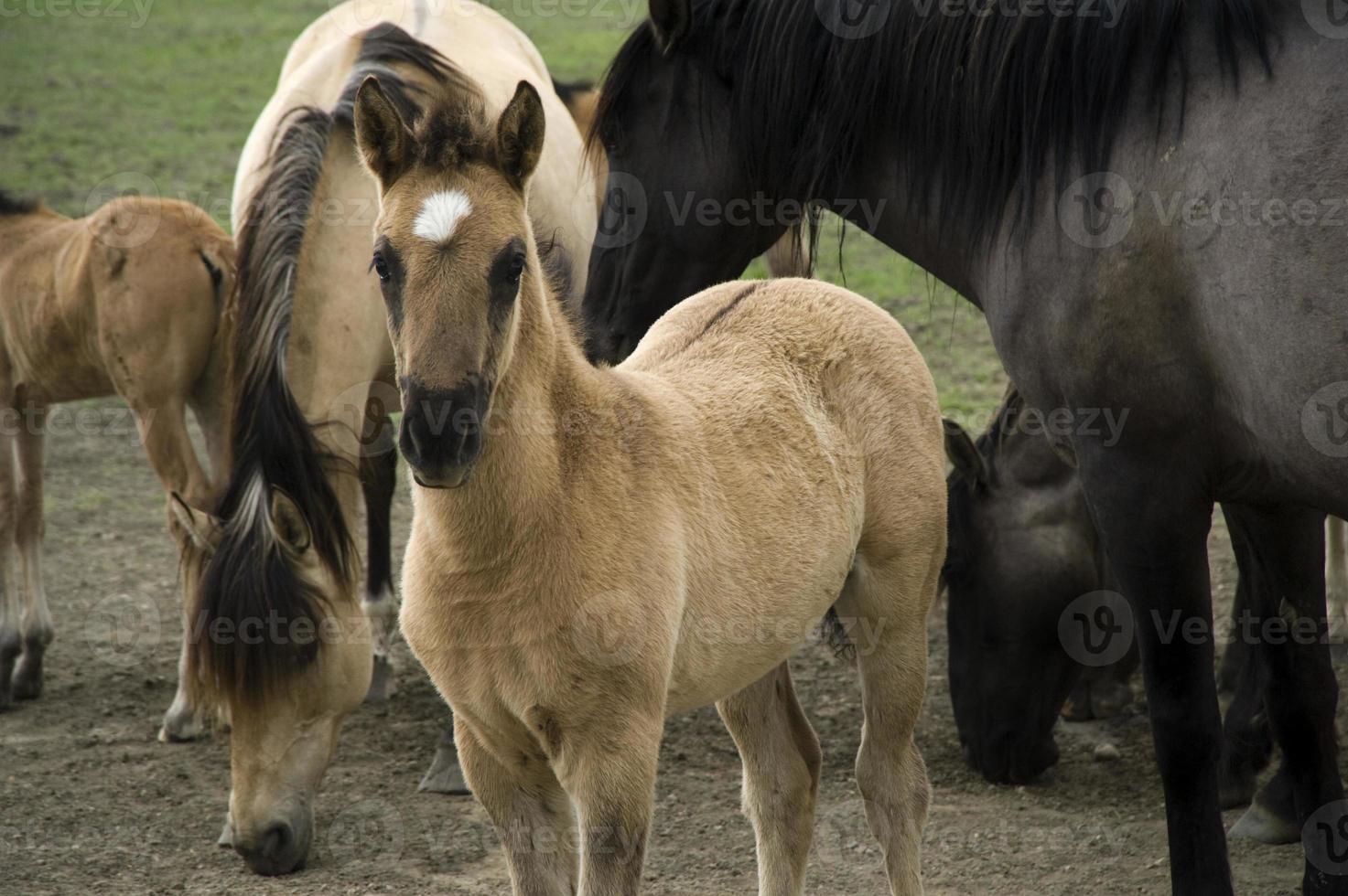 Sorraia Mustangs in the Black Hills Wild Horse Sanctuary photo
