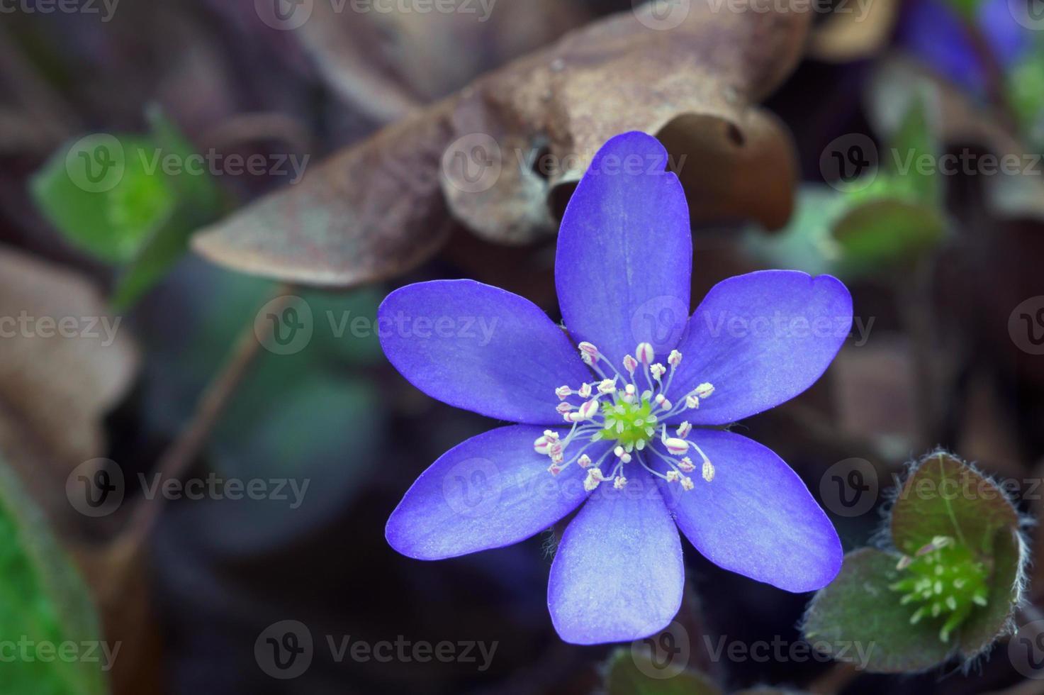 flor de primavera hepatica foto